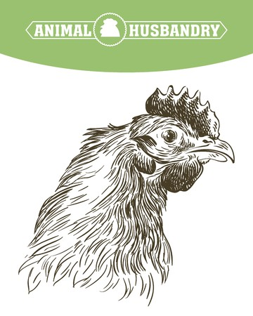 aviculture: chicken breeding. animal husbandry. livestock