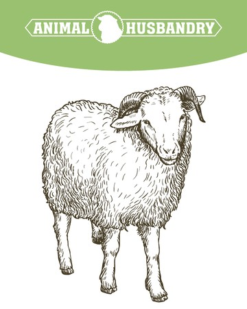 sketch of sheep drawn by hand. animal husbandry Illustration