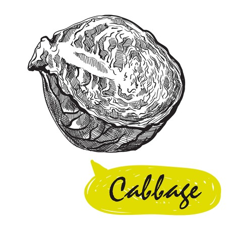 cabbage sketch. harvesting Illustration