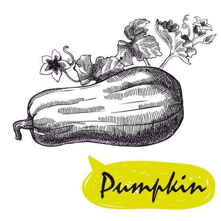 pumpkin sketch. harvesting