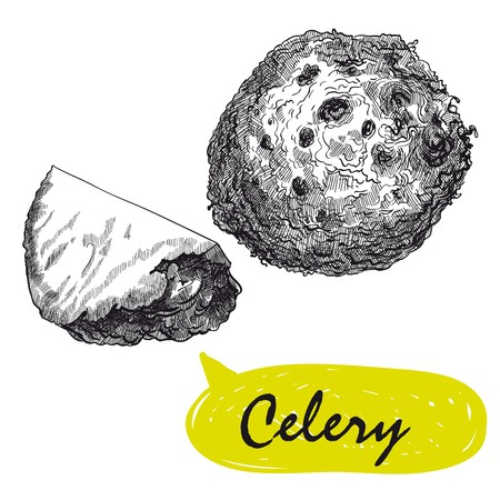 celery sketches. harvesting