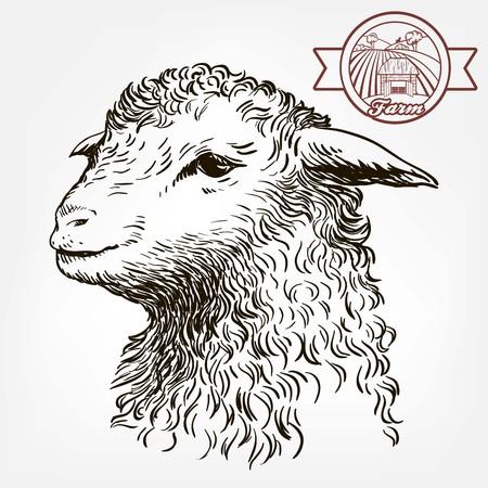 Head of a sheep. animal husbandry