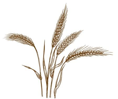 wheat grain: Ears of wheat vector sketch