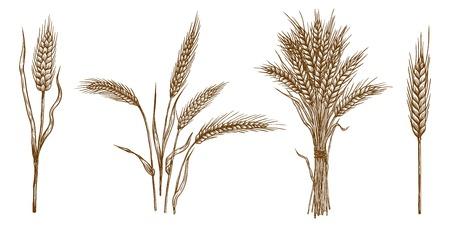 épis de blé. ensemble de croquis de vecteur