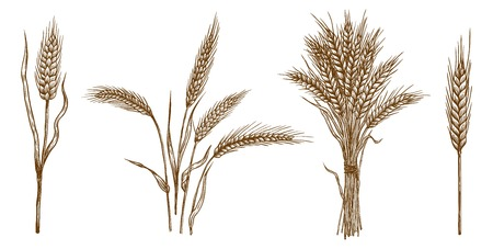 ears of wheat. set of vector sketches  イラスト・ベクター素材