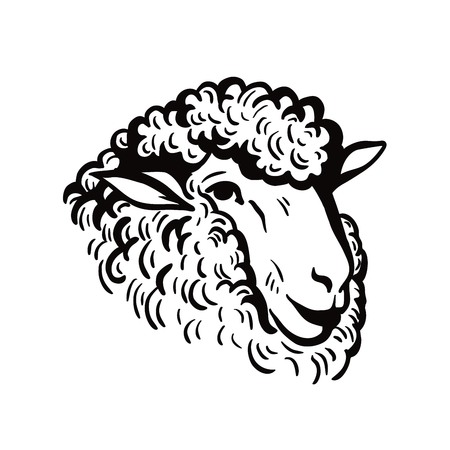 Sheep head sketch