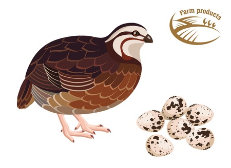 Quail. Farm products. Colored illustration Illustration