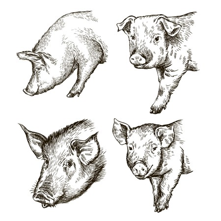 sketches of pigs drawn by hand. livestock Illustration