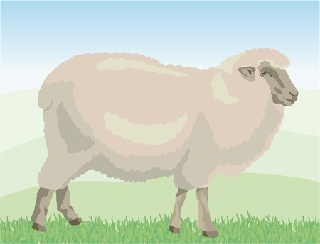 Beige sheep grazing on pasture. color vector illustration
