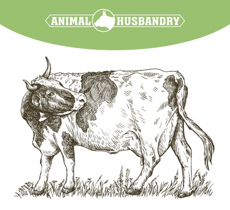 Sketch of cow drawn by hand. livestock, cattle, animal grazing