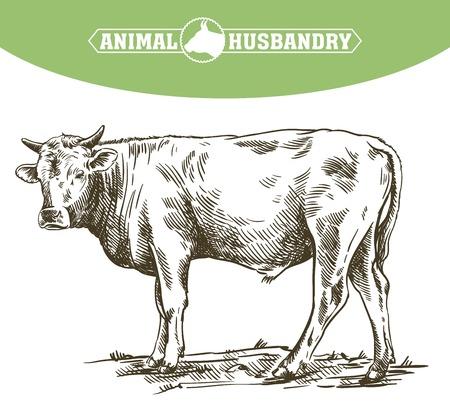 사육 암소, 축산 및 가축 그림. 일러스트