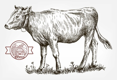breeding cow. grazing cattle. animal husbandry. livestock. vector sketch on a grey background Imagens - 88078157