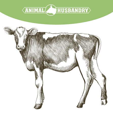 breeding cow. grazing cattle. animal husbandry. livestock. vector sketch on a white background Ilustrace