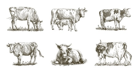 breeding cow hand drawn illustration