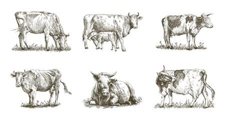 breeding cow hand drawn illustration