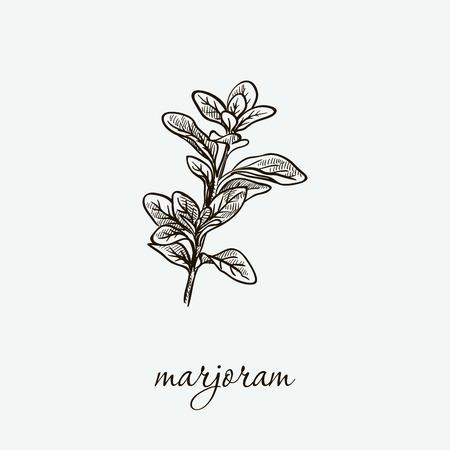 marjoram. natural herbs. sketch on grey