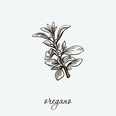oregano. natural herbs. sketch on grey