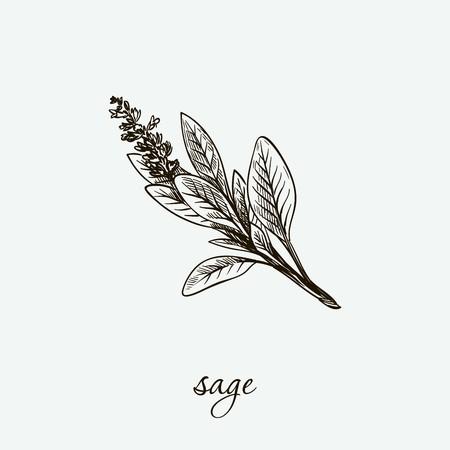 sage. natural herbs. sketch on grey