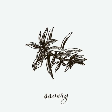 savory. natural herbs. sketch on grey