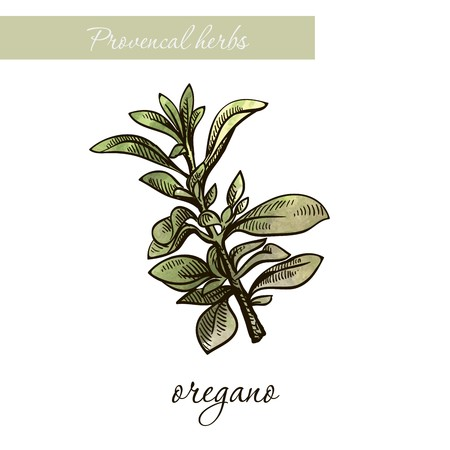 oregano. natural spices and herbs. sketch on white background