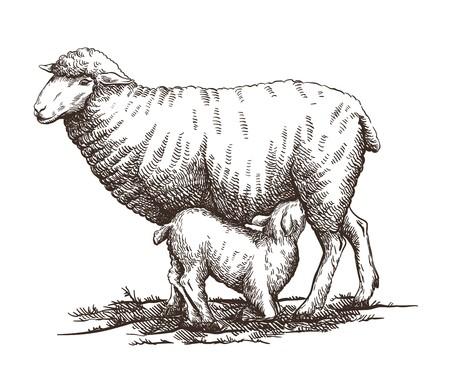 New born lamb suckling milk from mother sheep Standard-Bild - 110402077