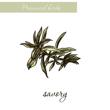 Savory. Natural spices and herbs. Sketch on white background Banque d'images - 110275753
