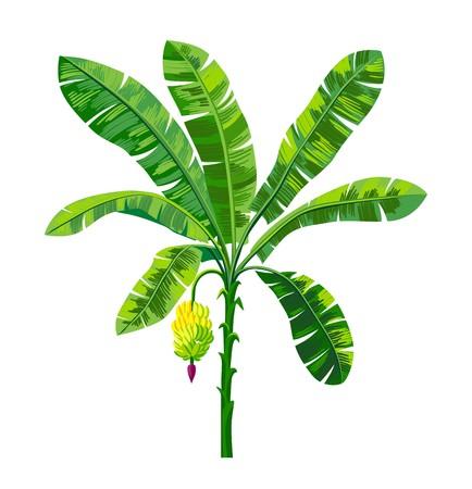 palma bananowa z kiścią dojrzałych bananów Ilustracje wektorowe