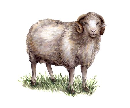 Sheep breeding. Color sketch on white background