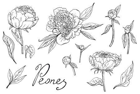 Pfingstrosen. Pflanzenanbau und Gartenarbeit. Skizze auf weißem Hintergrund