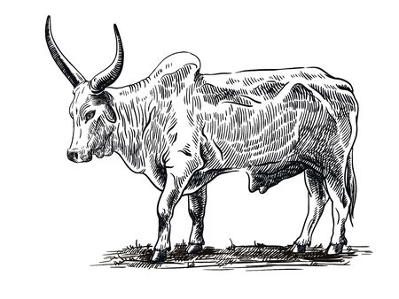 sketch of bull drawn by hand. livestock. cattle. animal grazing