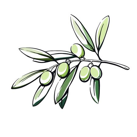 olive tree branch with fruits. color vector illustration isolated on white Stok Fotoğraf - 131893993