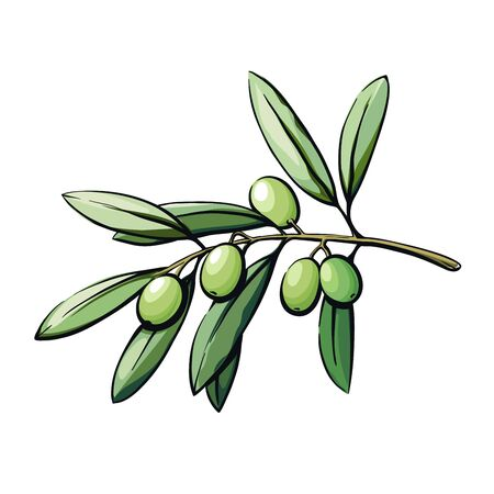 olive tree branch with fruits. color vector illustration isolated on white