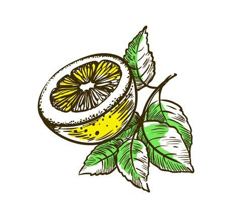 ripe lemon on a branch. vector illustration isolated on white