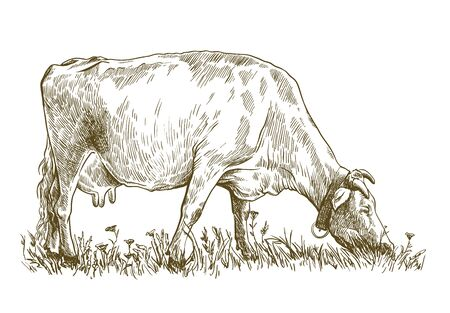 breeding cow. grazing cattle. animal husbandry. livestock. illustration on a white background Illustration