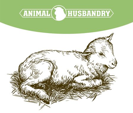 lamb. sketch on a white background. animal husbandry