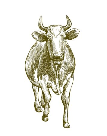 breeding cow. animal husbandry. livestock illustration on a white 矢量图像