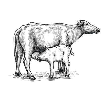 breeding cow. animal husbandry. livestock illustration on a white Illustration
