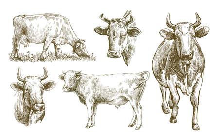 breeding cow. animal husbandry. livestock illustration on a white background