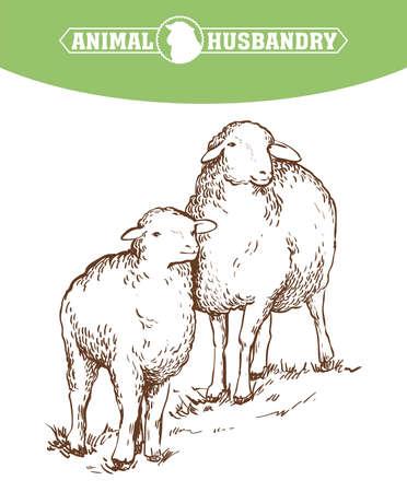 sketch of sheep drawn by hand. animal husbandry 矢量图像