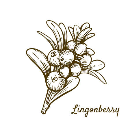 lingonberry branch with berries. vector illustration isolated on white background 矢量图像