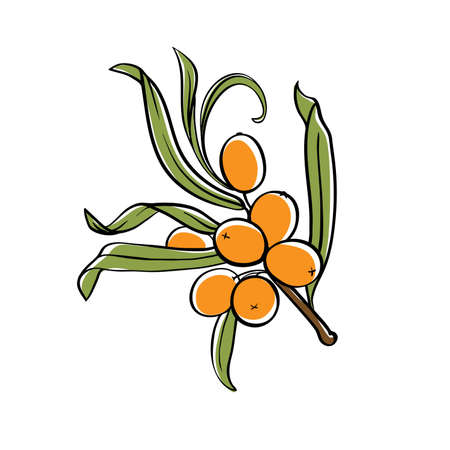sea buckthorn branch with berries. vector illustration isolated on white background