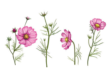 bright pink petals of wildflowers. color illustration on white background