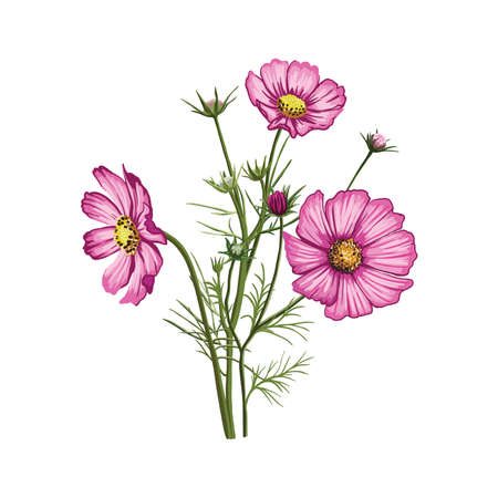 bright pink petals of wildflowers. color illustration on white background 矢量图像