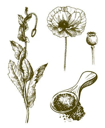 plant poppy. flower, bud and poppy seeds. Set of vector sketches on white background 矢量图像