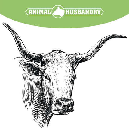 Breeding cattle. head of a Texas longhorn. vector sketch on white background