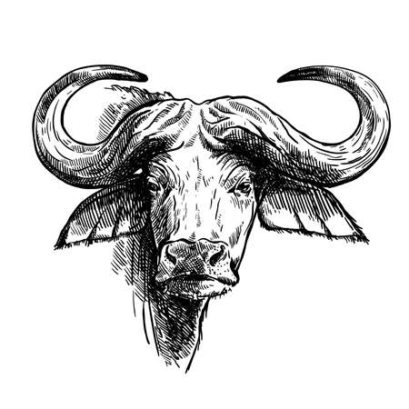 Breeding cattle. head of a Afrikan Buffalo. vector sketch on white background