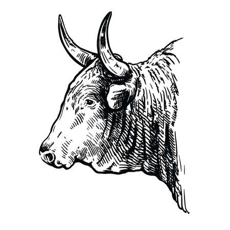 Breeding cattle. head of a American bull. vector sketch on white background Ilustração