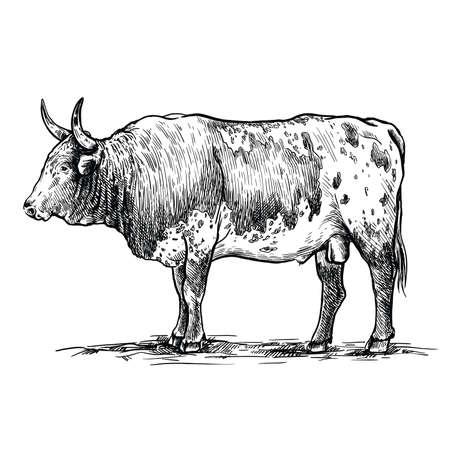 Breeding cattle. American bull. vector sketch on white background Ilustração