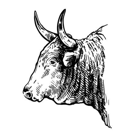 Breeding cattle. head of American bull. vector sketch on white background Ilustração