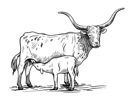 Breeding cattle. silhouette of a grazing Texas cow and calf. vector illustration isolated on white background